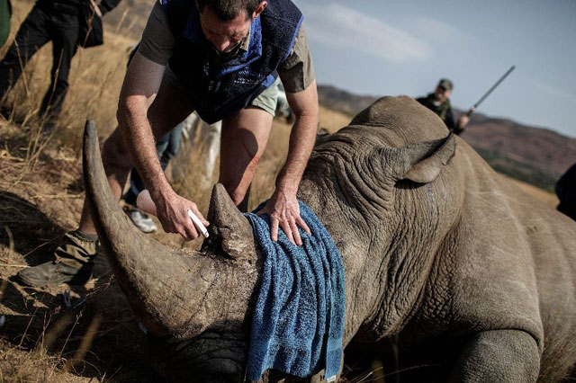 The plight of Africa's rhino and elephants, targeted for their horns and tusks, is expected to dominate 12 days of talks in Johannesburg. PHOTO: AFP