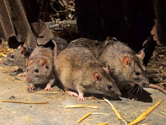 Bihar police say rats consumed over 40,000 cases or approximately 900,000 litres of alcohol over the past year. PHOTO: Reuters/File
