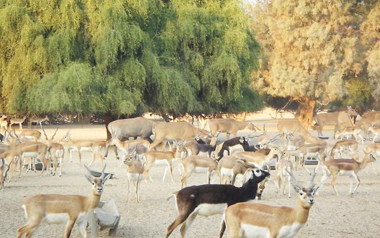 Blackbucks and deer at Lal Suhanra National Park PHOTO: NATIVEPAKISTAN.COM