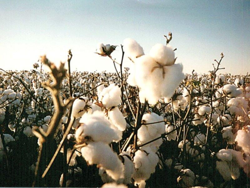 Cotton management PHOTO: FILE