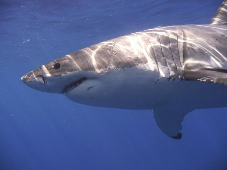 Rare shark attacks on New York's Fire Islands. PHOTO: REUTERS