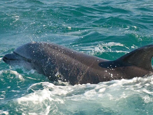 The three-metre long dolphin has been nicknamed Zafar. PHOTO: EXPRESS/FILE