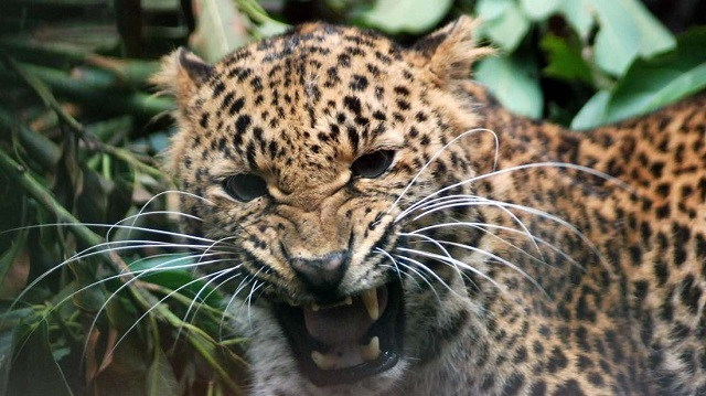 Leopard file photo. PHOTO:AFP