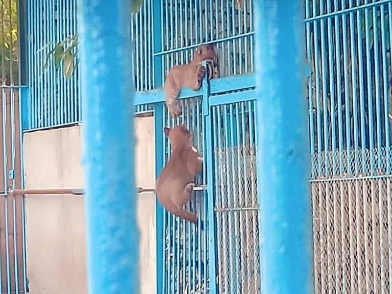 Two puma cubs playfully explore their new home at Korangi Zoo. PHOTO: EXPRESS