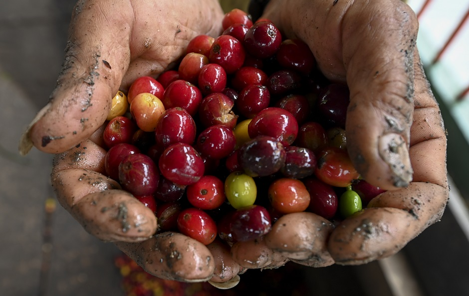 Colombian coffee producers say they are selling at a loss, blaming the crash devastating their industry on stock market speculators who have forced prices down to an all-time low. PHOTO: AFP