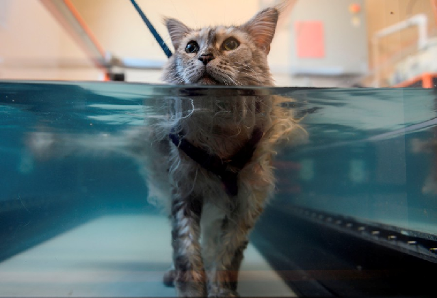 Bess, suffering from arthritis, walks in a hydrotherapy tank at the Friendship Hospital For Animals. PHOTO: AFP