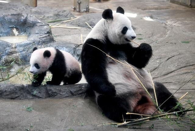 File photo of pandas (PHOTO: REUTERS)