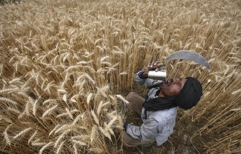 A labourer drinks water while harvesting wheat crop at a field in Jhanpur village of the northern Indian state of Punjab April 18, 2012. PHOTO: REUTERS/FILE