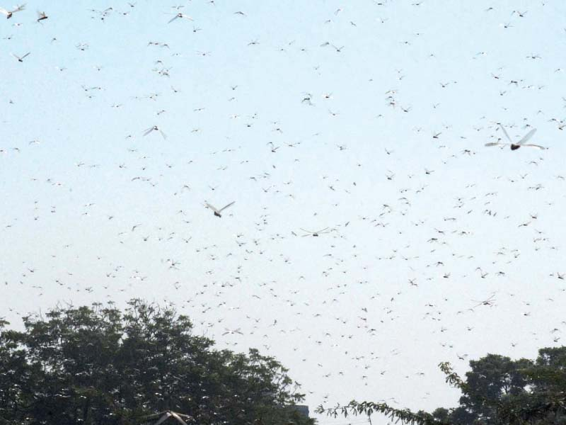 Swarms of locusts took over parts of the city on Monday for the first time in almost 60 years, causing panic among residents given the ill omens locusts have historically been associated with. PHOTO: ONLINE