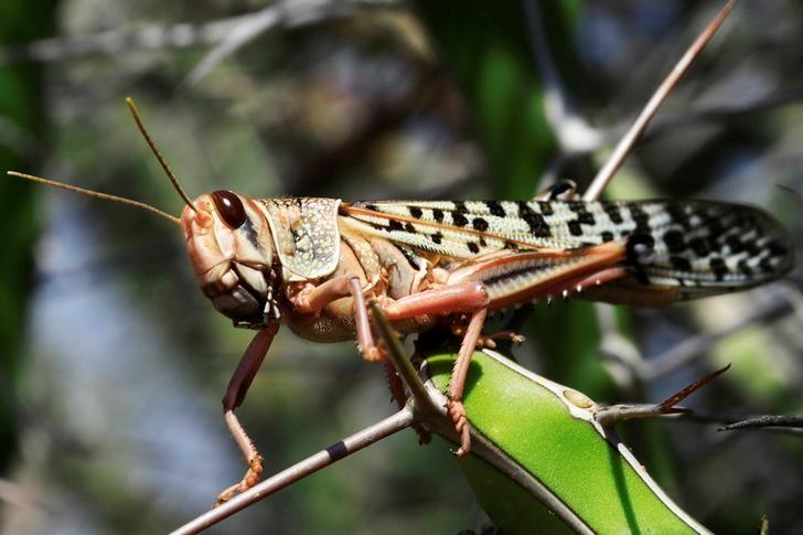 A Reuters file photo of a locust.