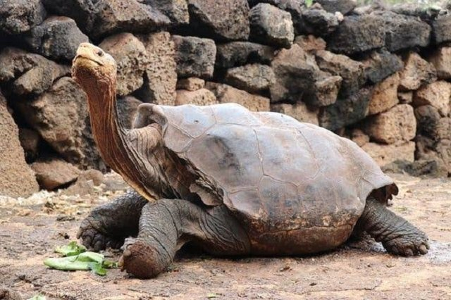 Galapagos giant tortoise is credited with single-handedly saving his species from extinction.PHOTO: GALAPAGOS NATIONAL PARK