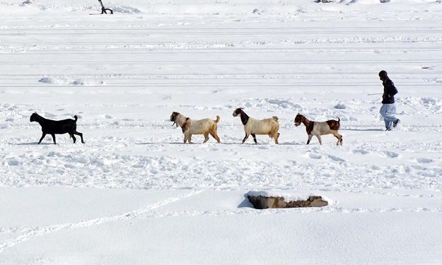 A shepherd guiding herd of goats in snow fields after heavy snowfall in provincial capital, Quetta. PHOTO: INP