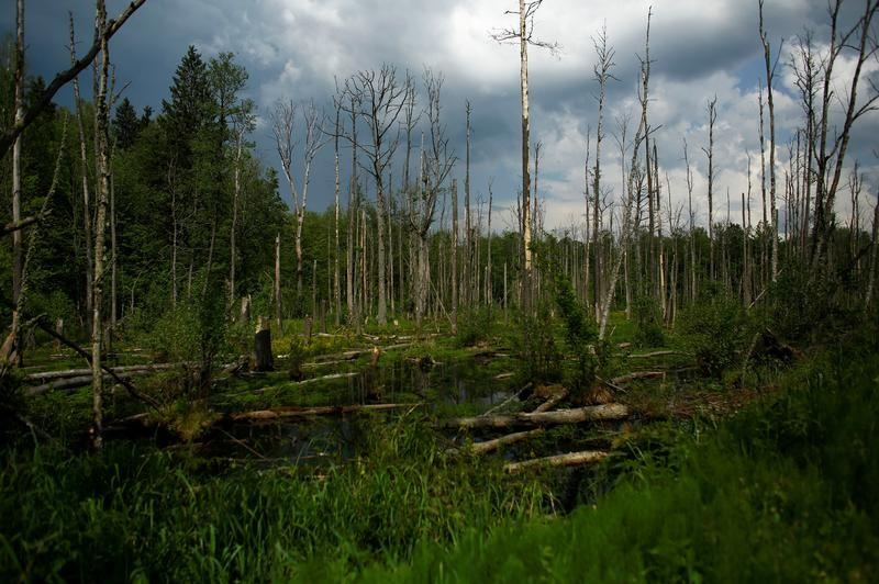 A Reuters file photo of the Bialowieza forest in Europe.