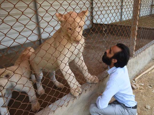 A private zoo owner looks at his white lions. PHOTO: GETTY