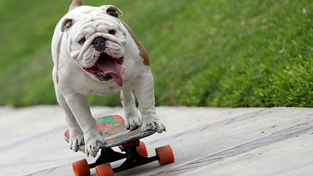 Otto the bulldog. PHOTO: GUINNESS WORLD RECORDS